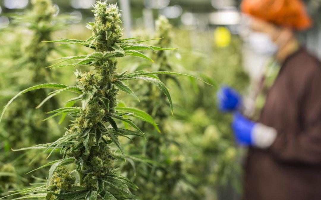 L'intervento indebito (e disinformante) del Capitano sul tema della commercializzazione della Cannabis Light